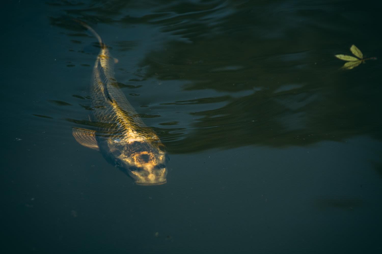 3徹した鯉の写真
