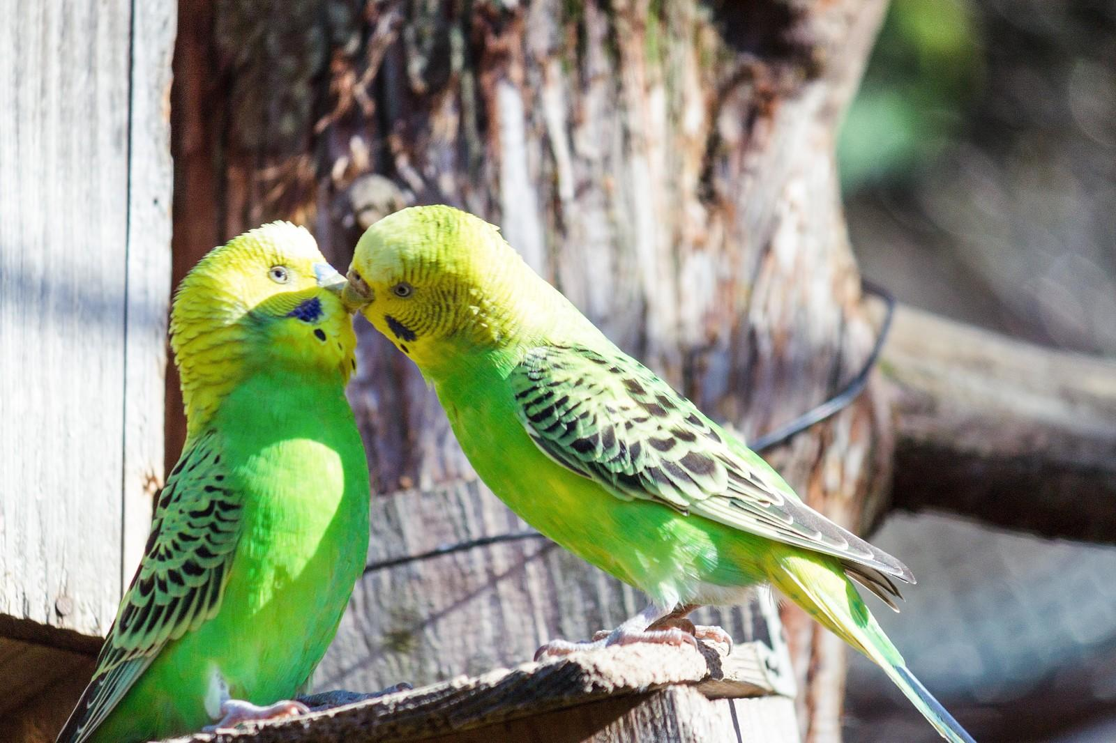 キスするインコちゃんの写真