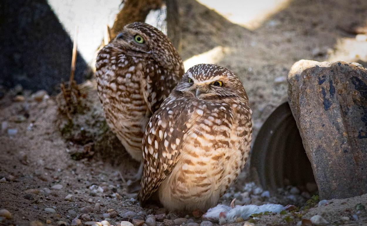 コキンメフクロウの2匹の写真