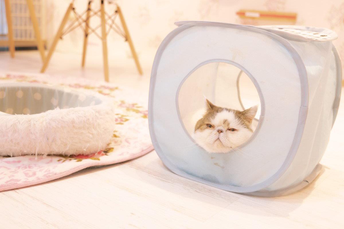 大御所感漂うエキゾチックショートヘア(猫)の写真
