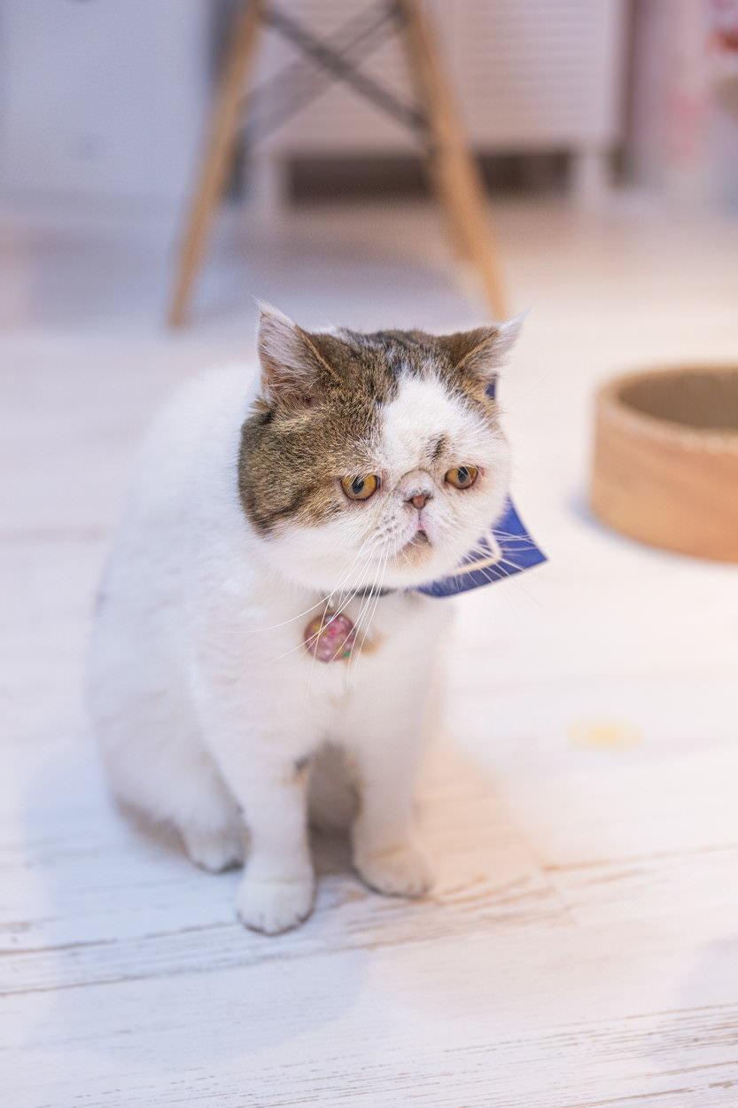 ぶさかわ猫のエキゾチックショートの写真