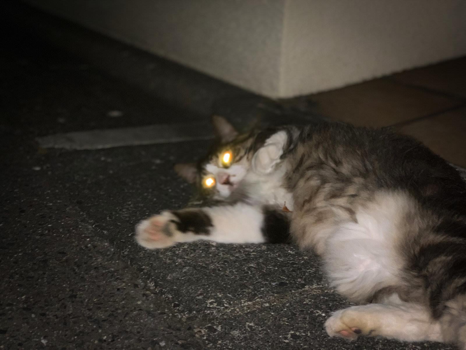 目が光る猫ちゃんの写真