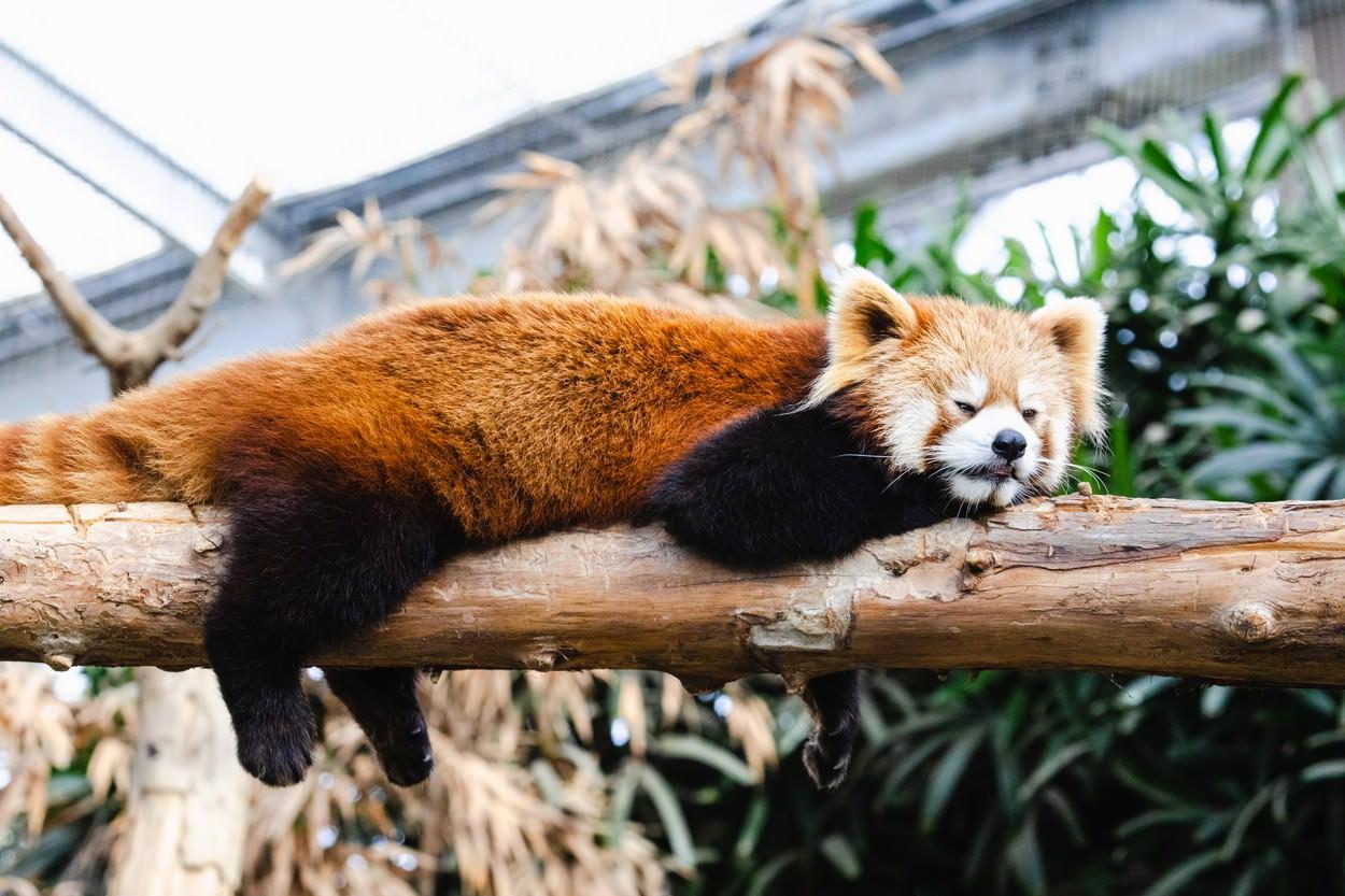 木の上のレッサーパンダの写真